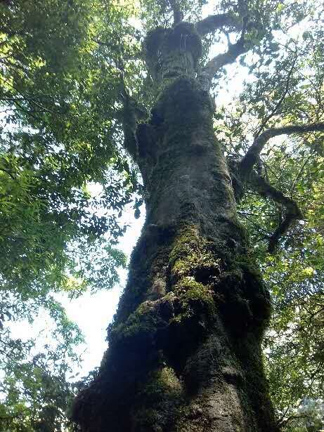 Древнее чайное дерево в саду мастера Ванга