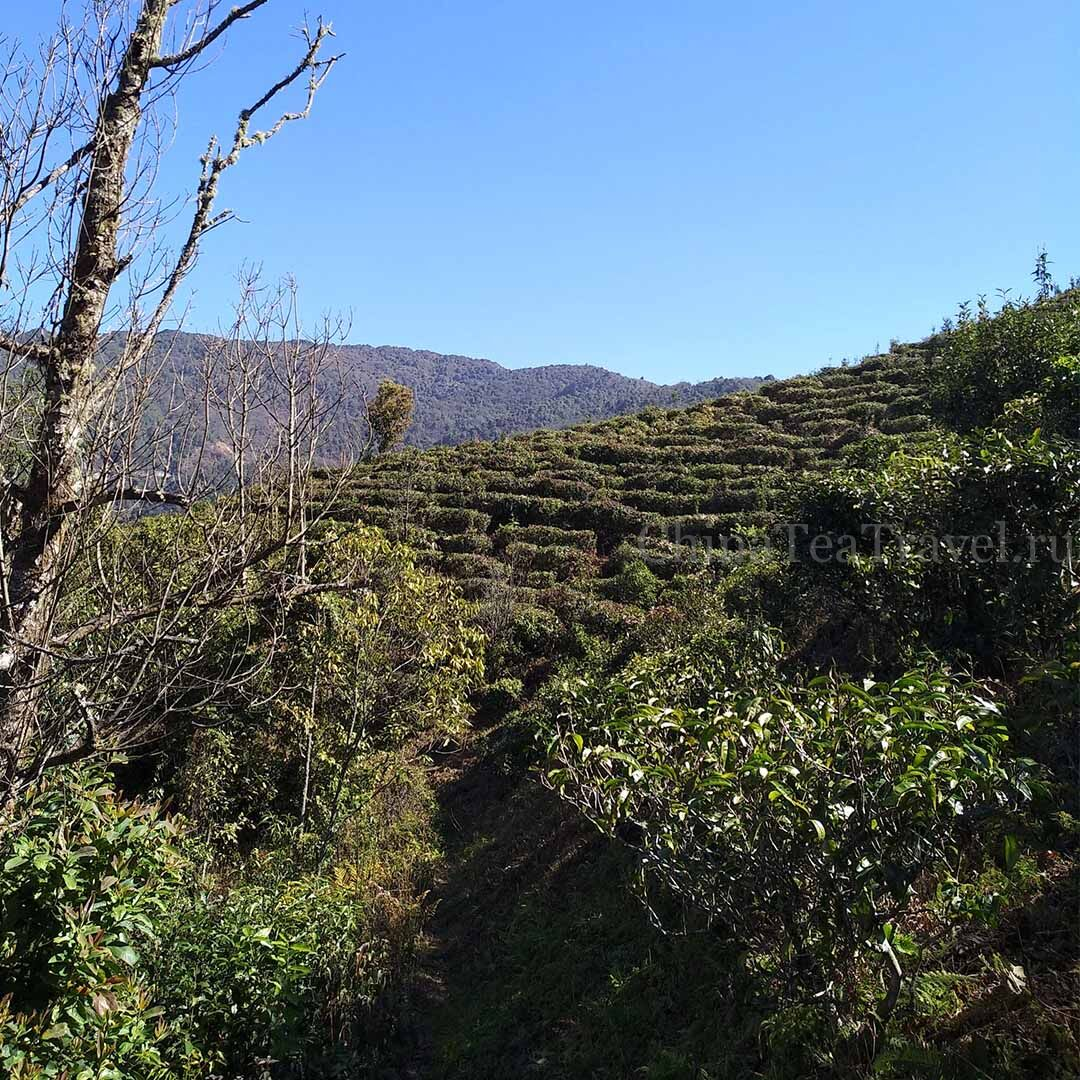 5 Красный чай «Малая народность» Ailao Tai Di Sai Hong Cha '19 Spr. Tea bushes 40-60 y.o.