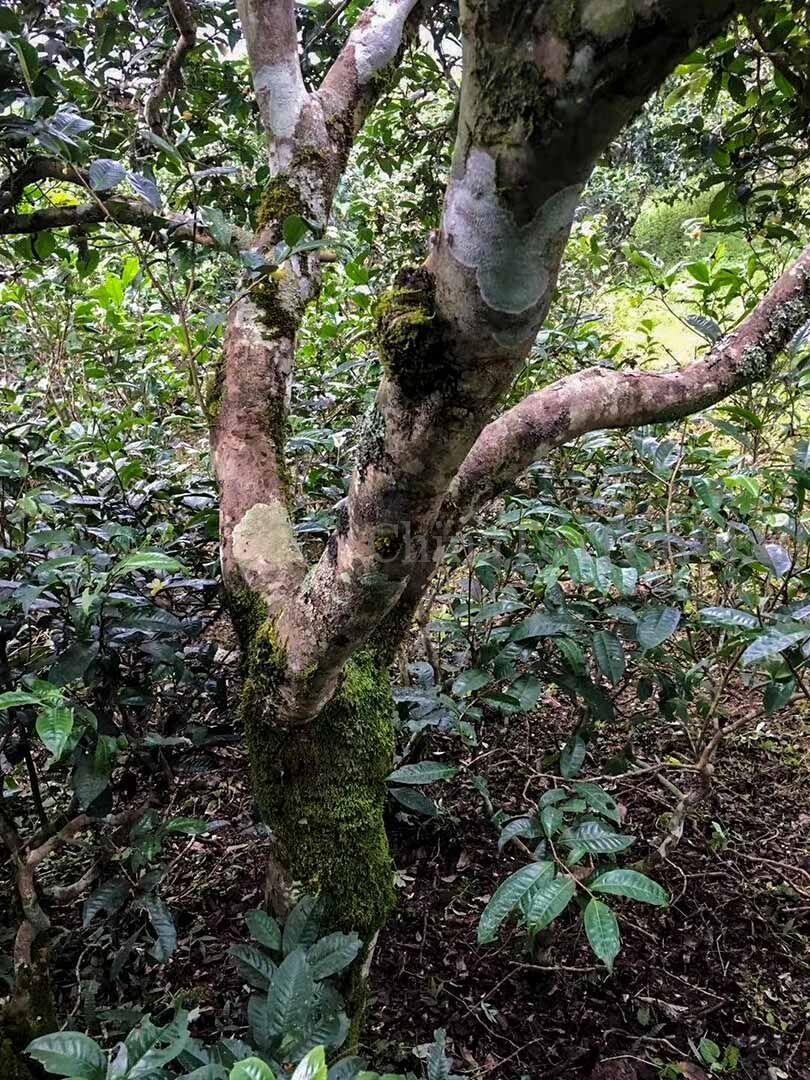 6 Шу пуэр со старых 200 летних чайных деревьев сада Ma Deng «Старый Маденг». Ma Deng Gu Shu Shu Puerh '20 Spr. Tea trees 200 y.o.